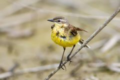 A wet and ragged yellow wagtail. Sits on a branch on a blurred gray background Royalty Free Stock Image