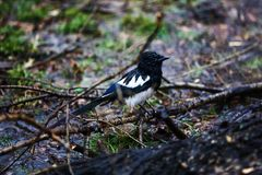 Wet from the rain magpie sits in the grass stock images