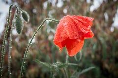 Wet from the rain poppy flower bowed the head, symbolizes sadnes royalty free stock photo