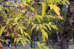 Wet from the rain tree branches with yellow leaves stock photography