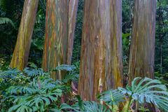 Rainbow Eucalyptus Trees Royalty Free Stock Photography
