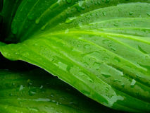 Wet Raindrop Green Leaves Closeup Dew Royalty Free Stock Photos