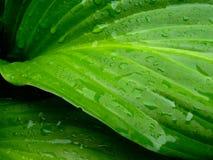 Wet Raindrop Green Leaves Closeup Dew Royalty Free Stock Photos