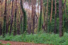 Wet rainy autumnal forest panorama with green ivy Royalty Free Stock Image