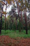 Wet rainy autumn forest panorama with yellow leaves  and green i Royalty Free Stock Photography