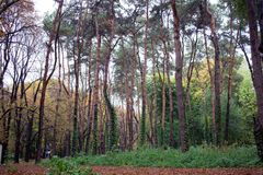 Wet rainy autumnal forest panorama with yellow stems and green i Stock Photography