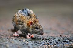 Wet rat. A wet rat on the ground after a rainy night Royalty Free Stock Image