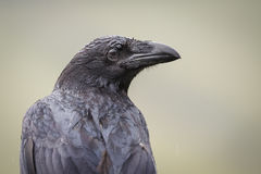 Wet raven Royalty Free Stock Images