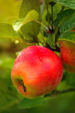 Wet red apple on branch Royalty Free Stock Photo