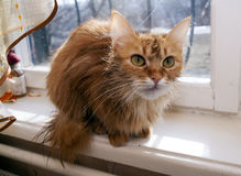 Wet red cat on a window sill Royalty Free Stock Images
