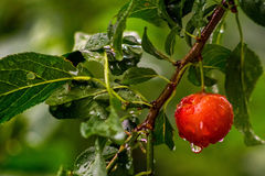 Wet red cherry plums on a green branch Royalty Free Stock Images