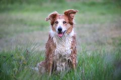 Free Wet, Red Dog On The Bunks Stock Photo - 109997190