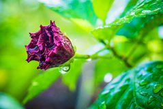 Wet Red Flower Stock Photography