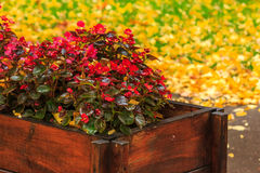 Wet red flowers from the box on a yellow foliage background Royalty Free Stock Photography