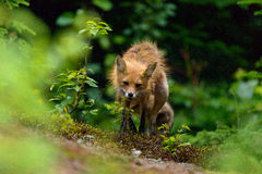 Wet red fox Stock Images