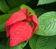 Wet Red and Green Leaves. Close-up of red leaves intermixed with green ones showing a striking contract Stock Photos