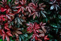 Wet red and green leaves after rain Royalty Free Stock Photography