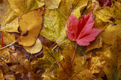Wet red leaf among yellow leaves. A close up image of several wet leaves that have turned different colors in autumn Royalty Free Stock Photography