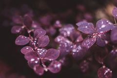 Wet red leaves with raindrops, macro background. Close-up royalty free stock image