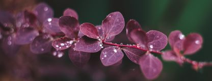 Wet red leaves with raindrops, macro background. Close-up stock photo