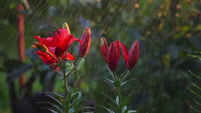 Wet Red lilies stock video footage