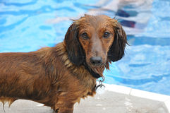 Wet Red Long-Haired Dachshund. By a Swimming Pool royalty free stock image