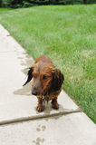Wet Red Long-Haired Dachshund. On a Sidewalk royalty free stock photos