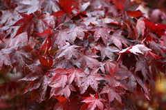 Wet Red Maple 1. Rain Drops on Red Maple Leaves stock image