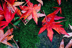 Wet red maple leaves on moss Royalty Free Stock Images