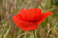 Wet red poppy. Beautiful red poppy with small rain drops Stock Photo