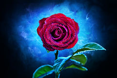 Wet red rose Royalty Free Stock Photography