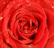 Wet red rose, close up Stock Photo