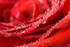 Wet Red Rose Close Up With Water Drops Stock Photos
