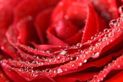 Wet Red Rose Close Up With Water Drops. Wet Red Rose Close Up With Water Droplets Stock Photos