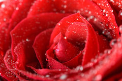 Wet Red Rose Close Up With Water Drops Royalty Free Stock Photography