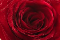Wet red rose flower closeup. Shallow focus Royalty Free Stock Photo