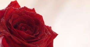 Wet red rose flower closeup shot Royalty Free Stock Photos