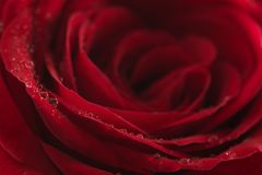 Wet red rose flower closeup. Shallow focus Stock Photography