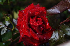 Wet Red Rose Stock Photos
