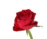 Wet red rose. Isolated on a white background Stock Images