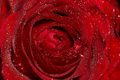 Wet Red Rose Macro Royalty Free Stock Photography