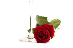 Wet red rose near the bottom of a champagne glass. On white background Stock Photography