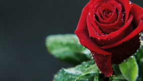 Wet Red Rose Rotating stock footage