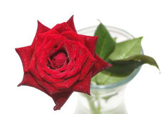 Wet red rose in vase isolated on white Stock Image