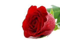 Wet red rose on white Royalty Free Stock Image
