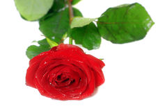 Wet red rose on white Royalty Free Stock Photo