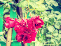 Wet Red Roses Royalty Free Stock Images