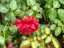 Wet Red Roses Royalty Free Stock Image