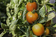 Dirty Tomato Stock Images
