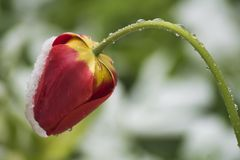 Wet red tulip bent by snowfall on a blurred green-white backgrou stock images